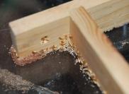 Termites de sol : coptoterme grandiceps. Le moindre morceau de bois est attaqué.